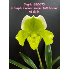 Paph. 990075 × Cocoa Green Full Green
