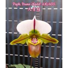 Paph. Bruno Model