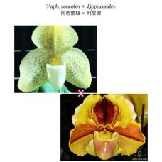 Paph. Concolor × Lippewunder