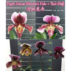 Paph. Enzan Winstons Vale × Red Shift