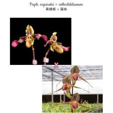Paph. Esquirolei × Rothschildianum
