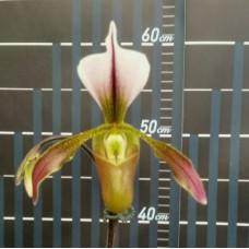 Paph. Haynaldianum × Spicerianum