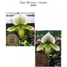 Paph. Hilo Green × Maudiae