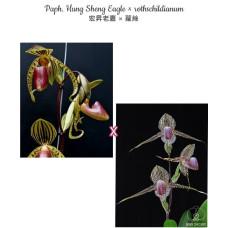Paph. Hung Sheng Eagle × Rothschildianum