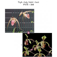 Paph. Lady Isabel × Lowii