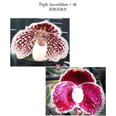 Paph. Leucochilum × sib
