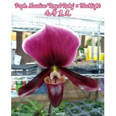 Paph. Maudiae Royal Ruby × Blacklight