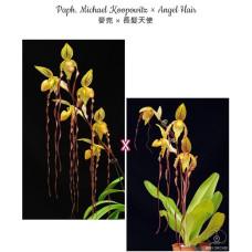 Paph. Michael Koopowitz × Angel Hair