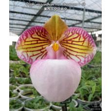 Paph. Micranthum var. Eburneum × sib