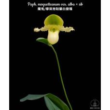 Paph. Moquetteanum var. Alba