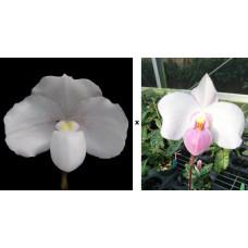 Paph. Niveum × Delenatii