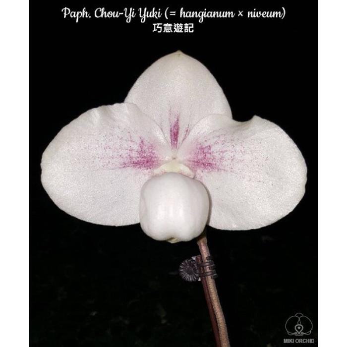 Paph. Niveum × Hangianum