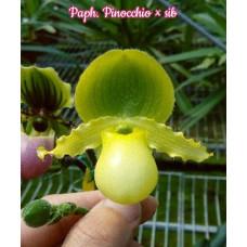 Paph. Pinocchio × sib