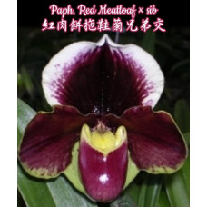 Paph. Red Meatloaf