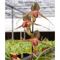 Paph. Rothschildianum