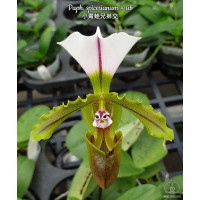 Paph. Spicerianum × sib