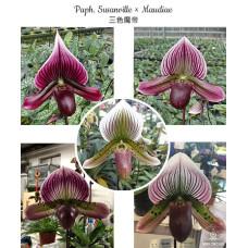 Paph. Susanville × Maudiae