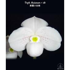 Paph. Thaianum