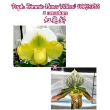 Paph. Tommie Hanes Althea × Venustum