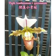Paph. Tranlimianum × Spicerianum