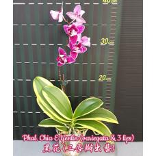 Phal. Chia E Yenlin peloric 1,7