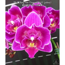 Phal. Ching Ann Diamond 499 peloric