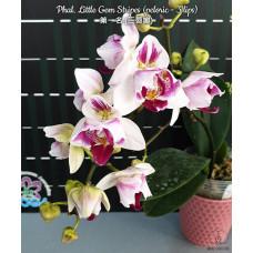 Phal. Little Gem Stripes peloric
