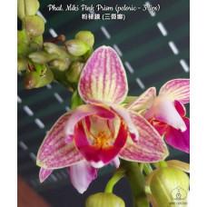 Phal. Miki Pink Prism peloric