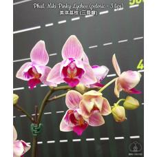 Phal. Miki Pinky Lychee peloric