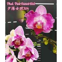 Phal. Pink Sunset Girl