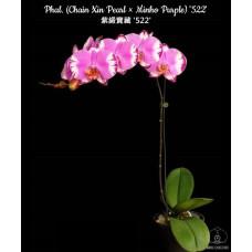 Phal. (Chain Xin Pearl × Minho Purple) 522