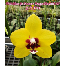 Phal. (Haur Jin Princess × Dragon Tree Gold) 01 3