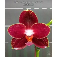 Phal. AL Sun Hannover Red × sib