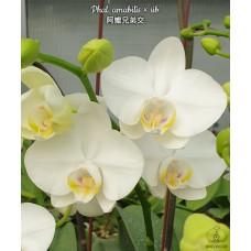 Phal. Amabilis × sib