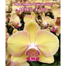 Phal. Amber Princess 142