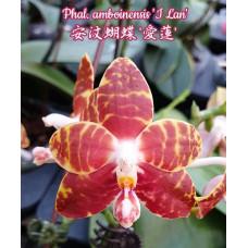 Phal. Amboinensis I Lan