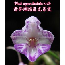 Phal. Appendiculata × sib