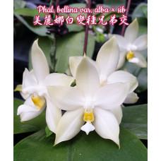 Phal. Bellina var. Alba × sib
