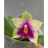 Phal. Bellina x sib 1,7
