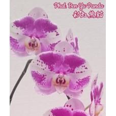 Phal. Ben Yu Panda