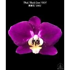 Phal. Black Gem 1901