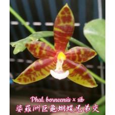 Phal. Borneensis × sib
