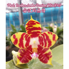 Phal. Brother Ambo Passion Hsia 49