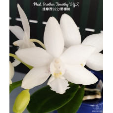 Phal. Brother Timothy SYK 1,7