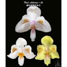 Phal. Celebensis × sib