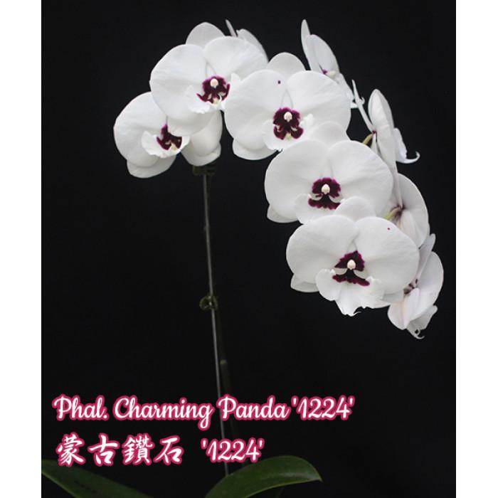 Phal. Charming Panda big lip