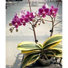Phal. Chia E Yenlin variegata