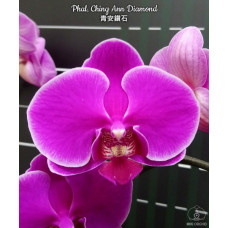 Phal. Ching Ann Diamond