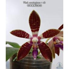 Phal. Corningiana × sib