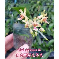 Phal. Deliciosa × sib 1,7